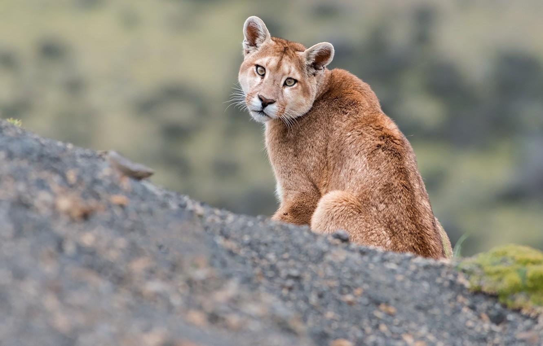 Photo wallpaper nature, beast, Puma