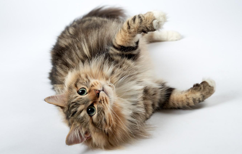 Photo wallpaper cat, cat, look, legs
