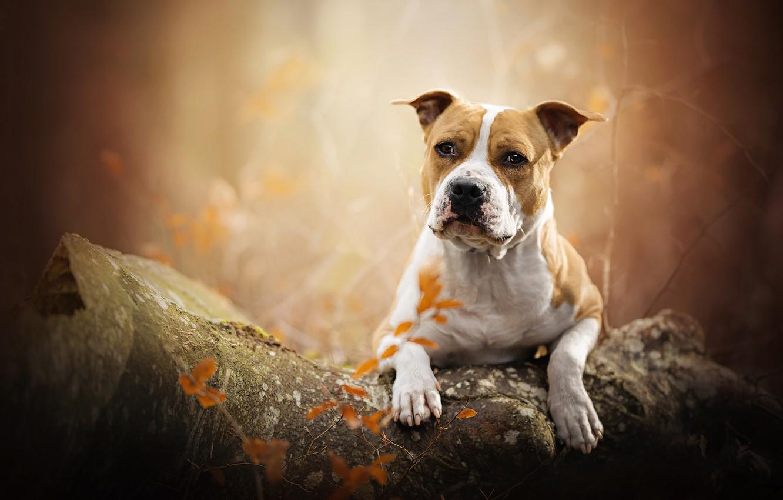 Photo wallpaper autumn, portrait, dog, log, bokeh, American Staffordshire Terrier