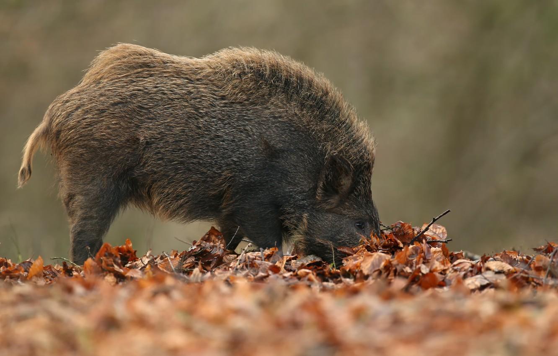 Photo wallpaper autumn, nature, boar