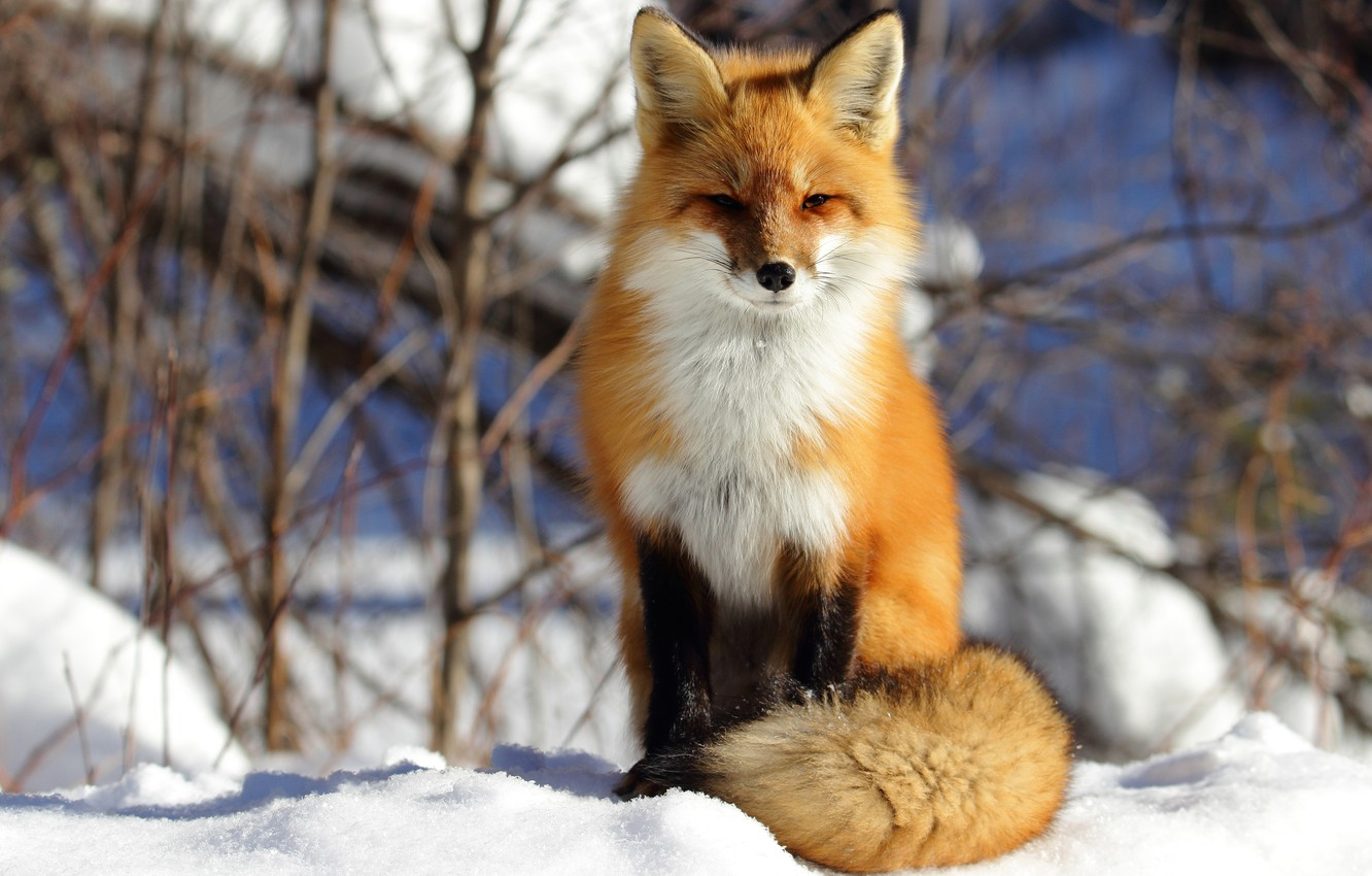 Photo wallpaper winter, snow, branches, nature, background, Fox, tail, red, sitting, Fox