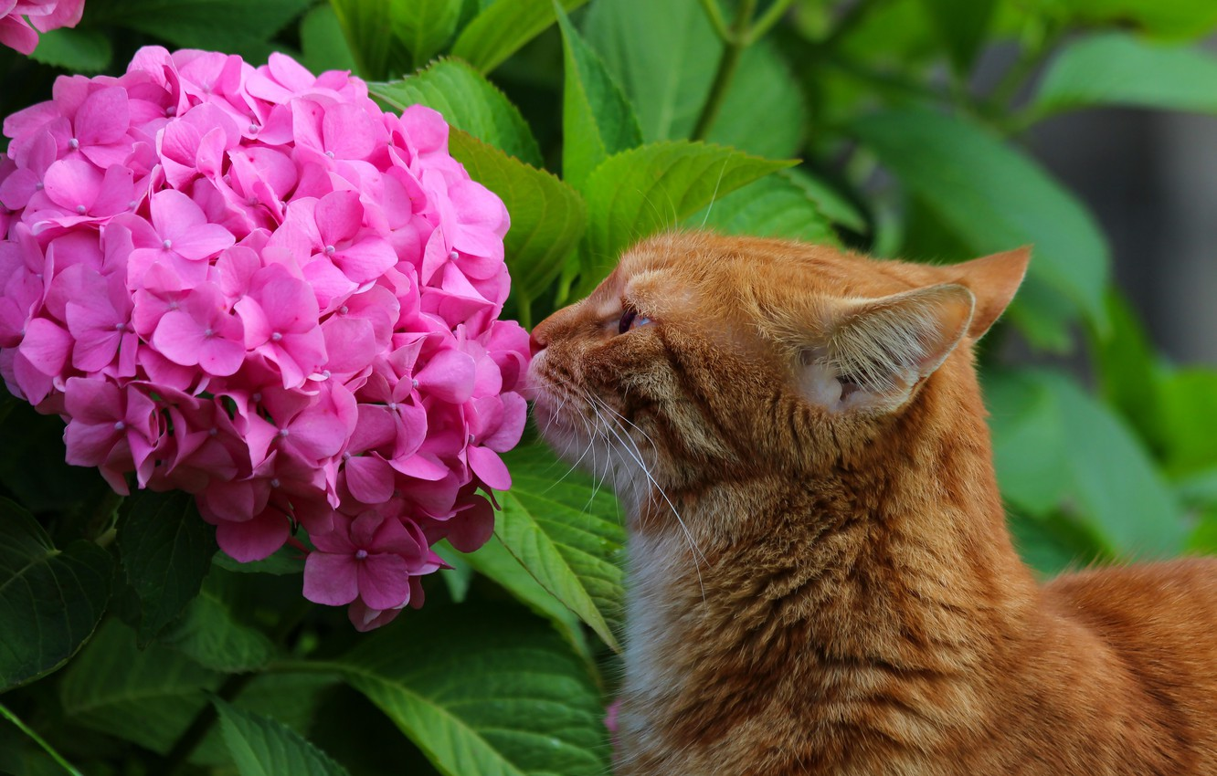 Photo wallpaper animals, summer, cat, cats, flowers, nature, beauty, hydrangea, cottage, Pets, red cat, Stepan, Stepan