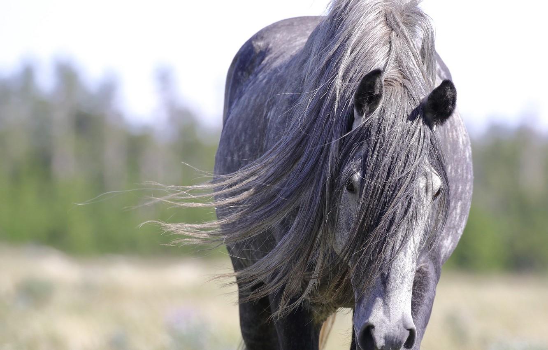 Photo wallpaper face, grey, horse, horse, portrait, mane, posing, wild