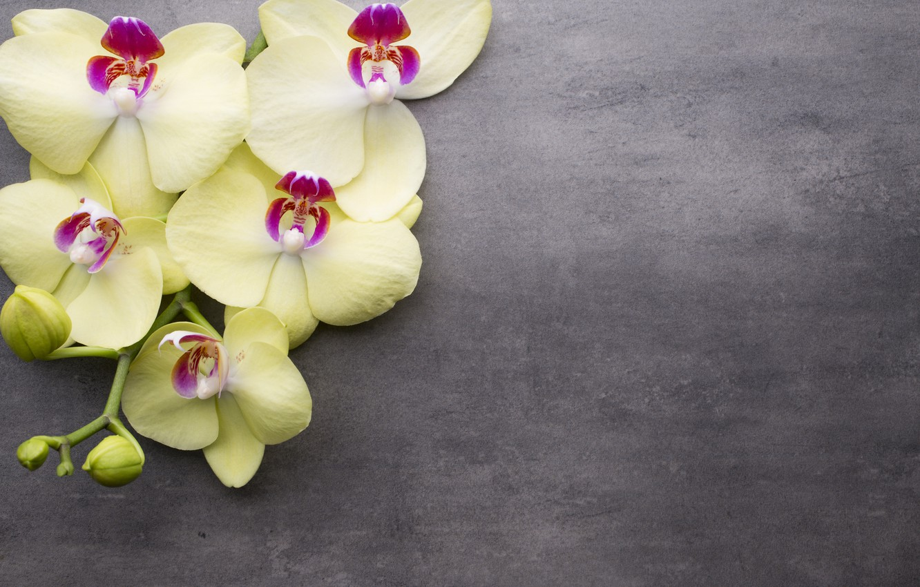 Photo wallpaper flower, background, branch, Orchid, yellow