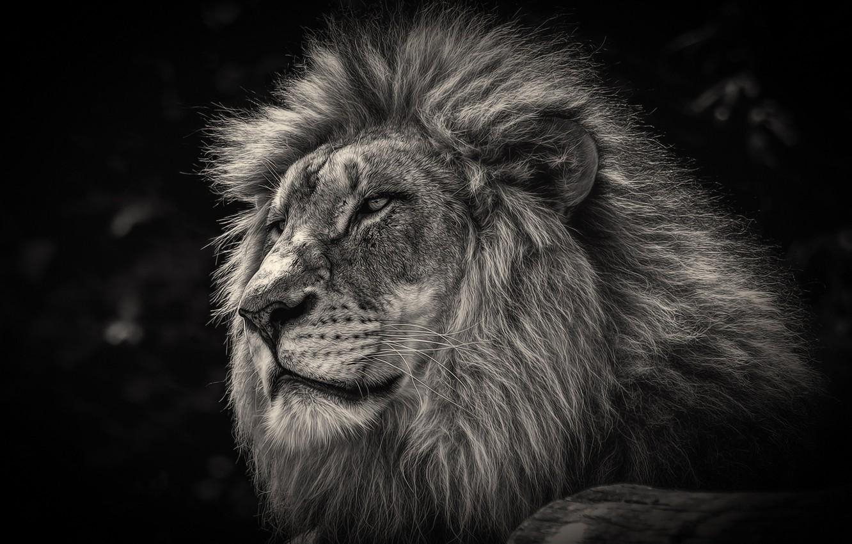 Photo wallpaper Leo, king, mane