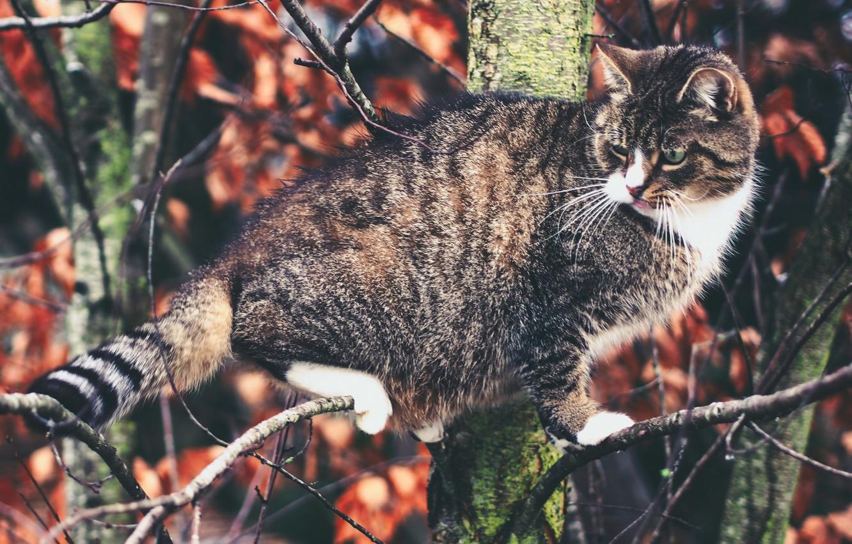 Photo wallpaper cat, cat, tree, on the tree, Kote, cat