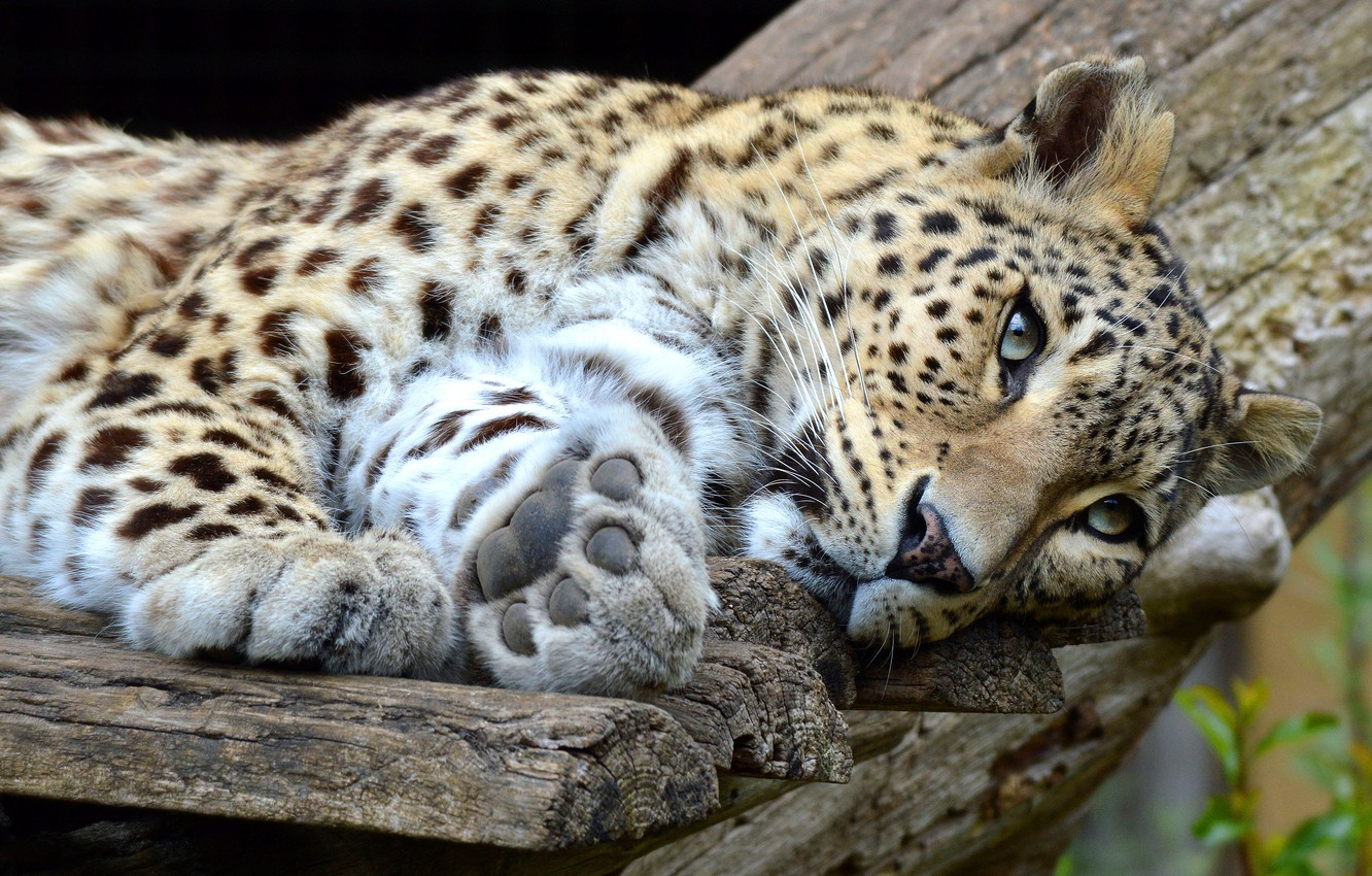Photo wallpaper look, face, cats, pose, background, Board, paws, leopard, lies, wild cats, zoo, wildlife