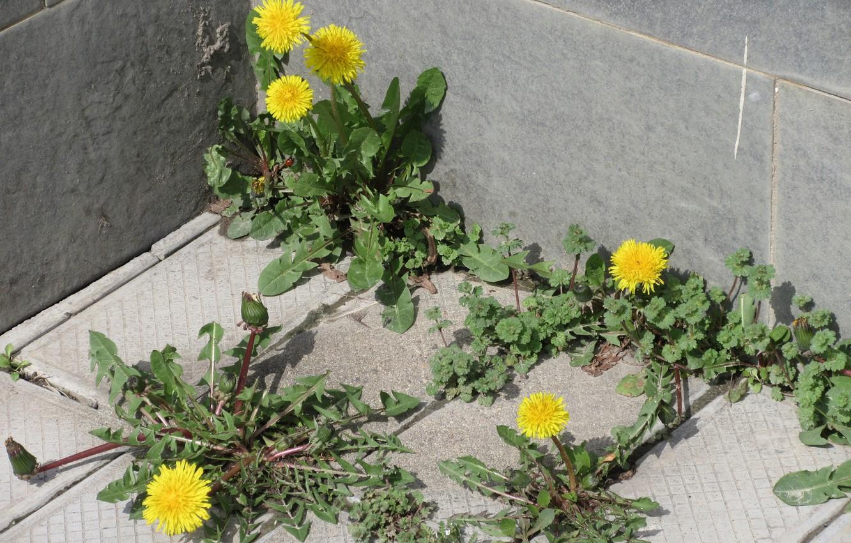 Photo wallpaper angle, dandelions, April, spring 2018, meduzanol ©