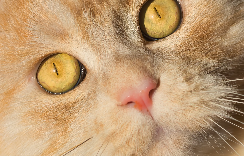 Photo wallpaper eyes, cat, look, muzzle, Kote, red cat