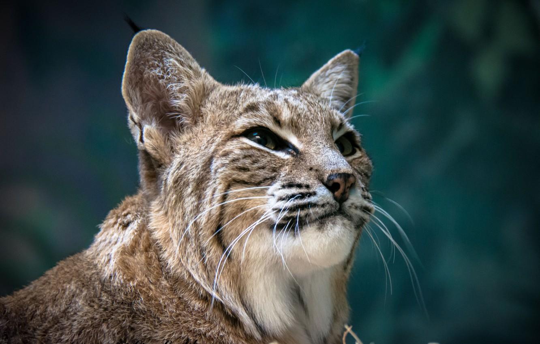 Photo wallpaper face, portrait, lynx, wild cat