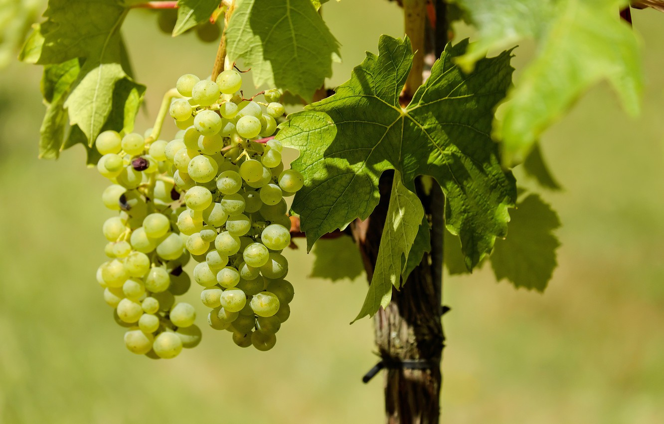Photo wallpaper leaves, nature, grapes, vineyard, bunches of grapes