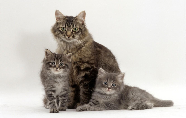 Photo wallpaper kittens, grey, trio, mom