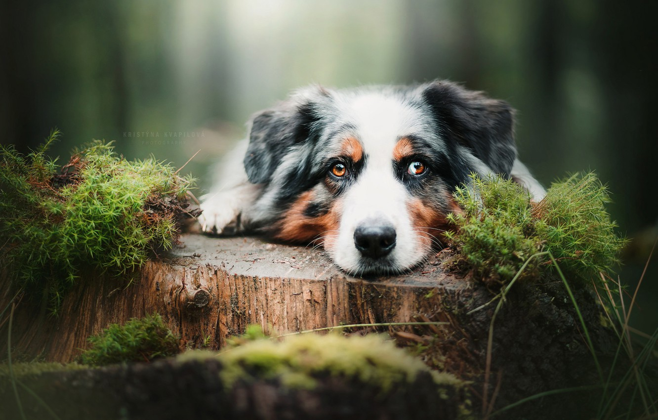 Photo wallpaper look, face, moss, stump, Australian shepherd, Aussie