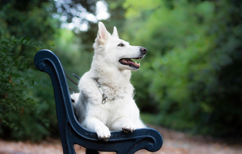 Photo wallpaper bench, dog, bokeh, The white Swiss shepherd dog