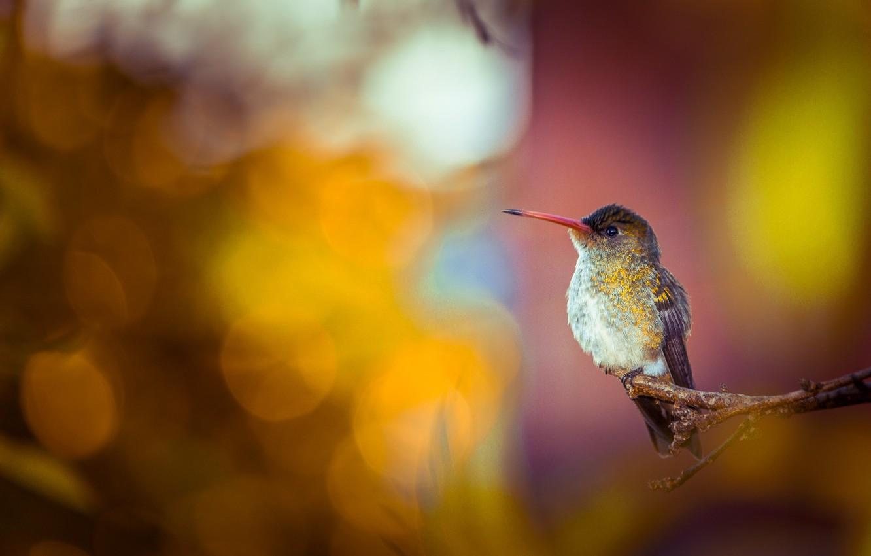 Photo wallpaper background, bird, branch, Hummingbird, bokeh