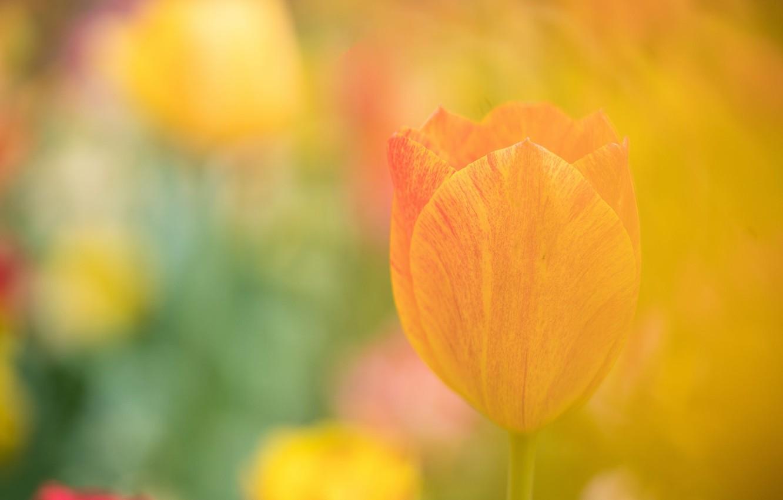 Photo wallpaper flower, Tulip, petals