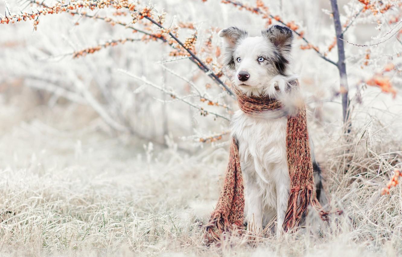 Photo wallpaper winter, frost, grass, snow, nature, Bush, dog, garden, scarf, sitting, Australian shepherd, sea buckthorn, Aussie