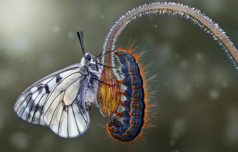 Photo wallpaper flower, macro, caterpillar, butterfly