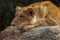 Picture wild cat, profile, face, lioness, stay, predator, lies