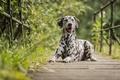 Picture nature, the bridge, dog