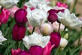 Picture buds, tulips, petals, a lot, macro
