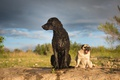 Picture Curly, Pug, Curtiosity Retriever, dogs