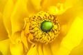 Picture yellow, anemones, petals, anemone, stamens, flower, macro, flowers