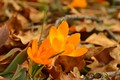 Picture Foliage, Crocuses, Crocuses, Leaves, Yellow flowers, Yellow flowers
