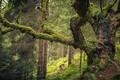 Picture forest, trees, moss, Austria, Saalbach Hinterglemm