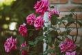 Picture flowers, petals, roses, Bush