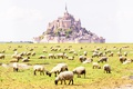 Picture field, castle, France, sheep, the monastery, Normandy, Mont-Saint-Michel
