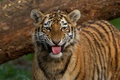 Picture language, animals, face, cats, nature, tiger, tree, fluff, wild cats, big cats