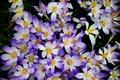 Picture flowers, spring, crocuses