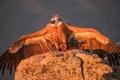 Picture Grif, bird, wings, predator, Griffon vulture