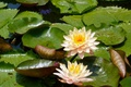 Picture leaves, two, water lilies, water Lily