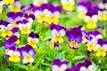 Picture bright, Pansy, viola