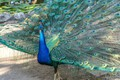Picture bird, peacock, feathers