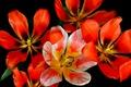 Picture tulips, petals, macro, spring