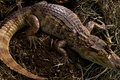 Picture reptiles, eyes, crocodile, reptiles, back, cub, tail, leather, alligator, face, wildlife, animals