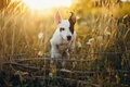 Picture grass, summer, meadow, face, white with black, flowers, puppy, jumping, light, Sunny, branches, sports, field, ...
