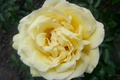 Picture rose, Flowers, Yellow