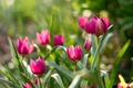 Picture spring, tulips, pink, flowerbed