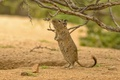 Picture rodent, stand, Degu, branches