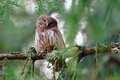 Picture owl, bird, branches, look