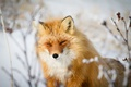 Picture face, red, sly look, Fox, look, bokeh