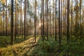 Picture forest, dawn, pine