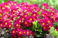 Picture flowers, beauty, nature, spring, Primula, flowering, cottage