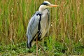 Picture grey Heron, grass, beak, bird