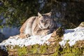 Picture snow, animal, stay, moss, log, lynx