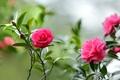 Picture branches, raspberry, Camellia